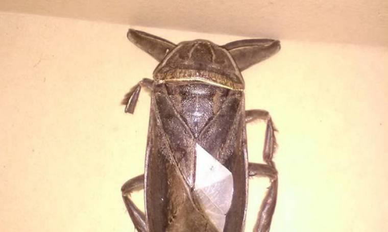 Εντοπίστηκε σαρκοφάγο έντομο... γίγας στη Λαμία