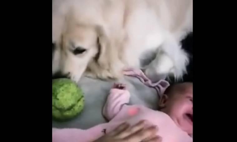 Πόσο τρυφερό! Το σκυλάκι δίνει τη μπάλα του στο μωρό για να σταματήσει να κλαίει!