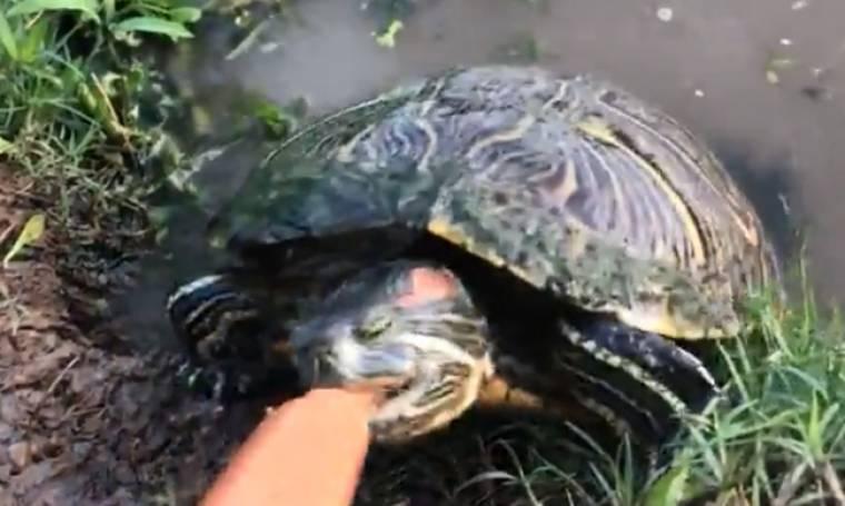 Αυτή η άγρια χελώνα βγήκε από τη λίμνη για να φάει το λουκάνικο
