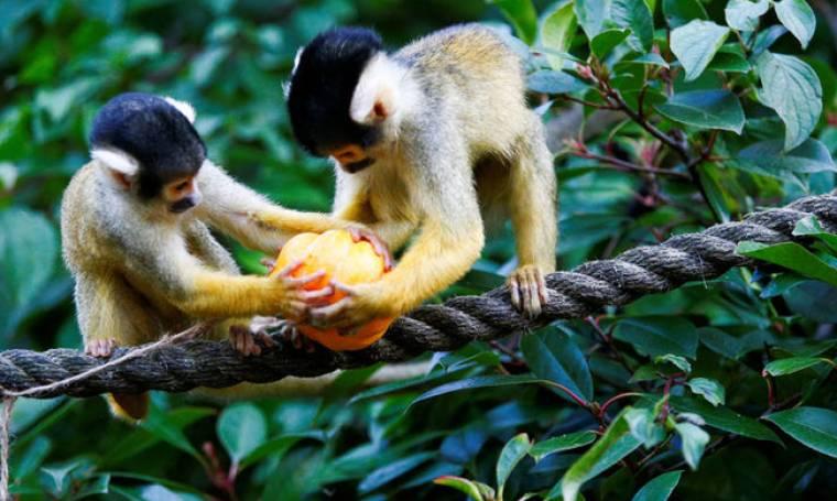 Halloween: Mαϊμούδες & οι φίλοι τους κάνουν πάρτι με κολοκύθες στο ζωολογικό κήπο του Λονδίνου