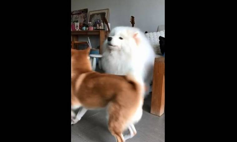 Ο ένας τραγουδά κι ο άλλος χορεύει - Αυτά τα σκυλάκια κάνουν την καλύτερη παρέα