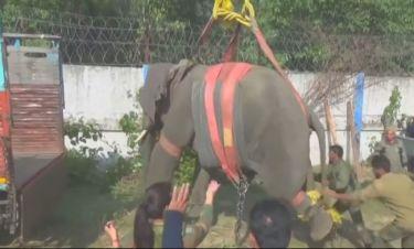 Ελέφαντας σκότωσε έναν άνδρα - Η μεταφορά του ζώου με γερανό μετά το τραγικό συμβάν