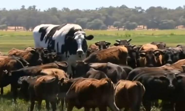Αυτή η γιγαντιαία αγελάδα κάνει τη διαφορά! (Video)