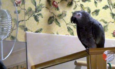 Αυτός ο παπαγάλος έχει πάθει κρίση… ταυτότητας! Νομίζει ότι είναι… (vid)