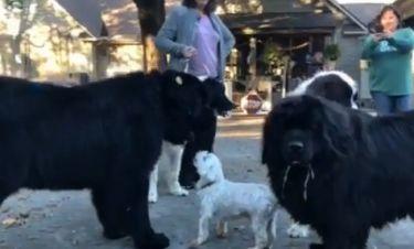 Αυτό το σκυλάκι επιτέθηκε σε πέντε μεγαλόσωμα σκυλιά