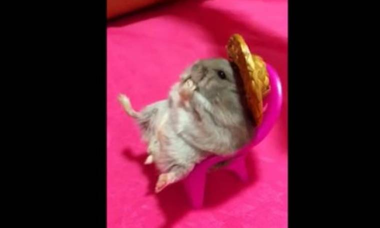 Ξεκαρδιστικό βίντεο: Χάμστερ με καπέλο απολαμβάνει το φαγητό του στην καρέκλα του!