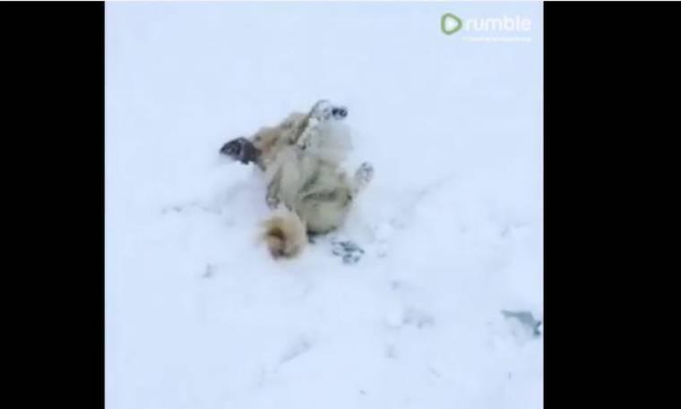 Απολαυστικό βίντεο! Αυτός ο σκύλος δε σταματά να κυλιέται στο χιόνι