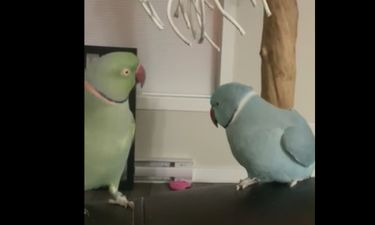 Αυτά τα παπαγαλάκια συνομιλούν και ανταλλάσσουν χάδια!