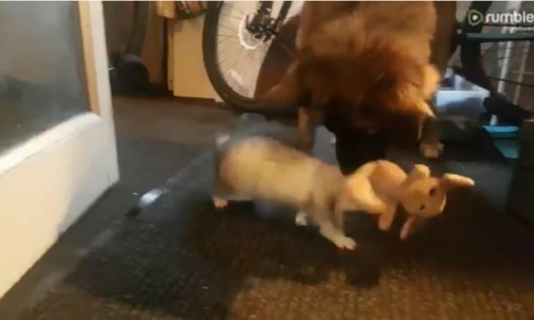 Ο σκύλος και το κουνάβι μαλώνουν για ένα… αρκουδάκι