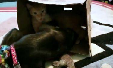 Μία μαϊμού και μία γάτα τσακώνονται για ένα... χαρτόκουτο!