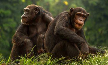 «Prison Break» για χιμπατζήδες στην Ιρλανδία (vid)