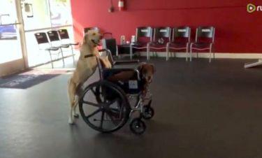 Ό,τι πιο γλυκό έχετε δει σήμερα! Σκύλος πάει βόλτα άλλο σκύλο πάνω σε αναπηρικό καροτσάκι!