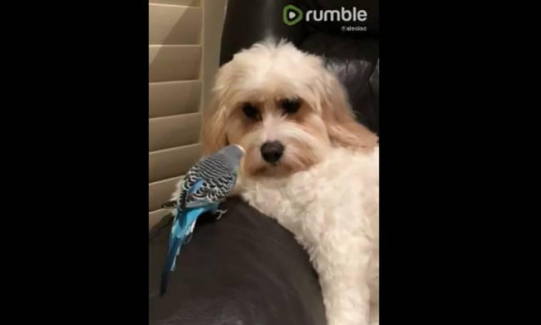 Όταν ένα παπαγαλάκι παίζει με έναν… σκύλο!