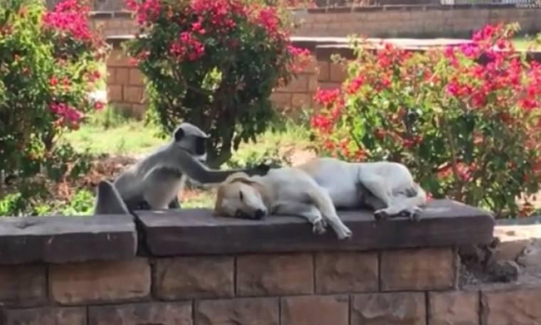 Ο σκύλος κοιμάται και οι μαϊμούδες κάνουν… πάρτι!
