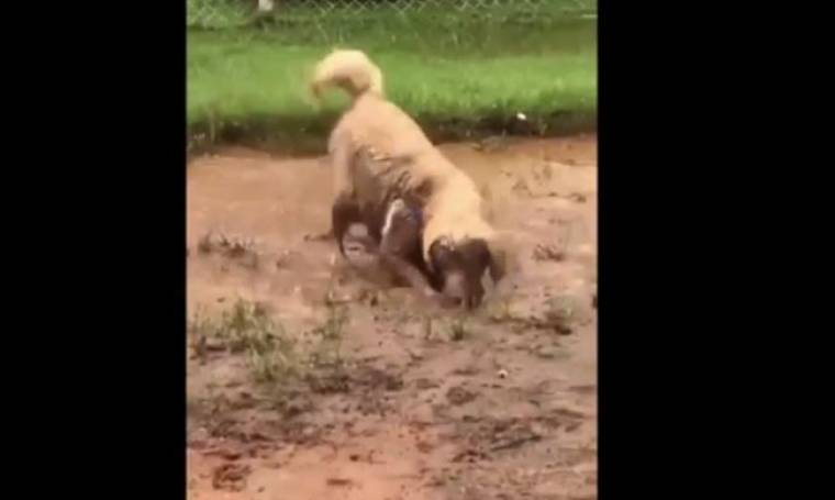 Δεν το έχετε ξαναδεί! Αυτό το σκυλί λατρεύει να κολυμπάει στα λασπόνερα!
