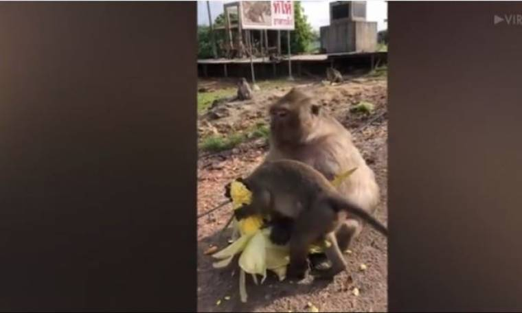 «Φύγε, είναι δικό μου το καλαμπόκι» - Η απίστευτη αντίδραση της μαϊμού