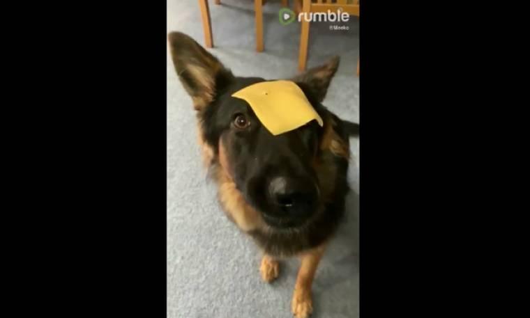 Αυτός ο σκύλος θέλει να φάει το τυρί που είναι στο κεφάλι του-Δείτε τι κάνει