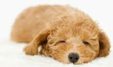Απίστευτο! Aυτό το σκυλάκι ονειρεύεται και το... ζεί (video)