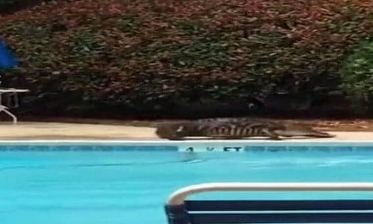 Τρόμος! Τεράστιος κροκόδειλος έκανε βόλτα σε πισίνα ξενοδοχείου (photos)