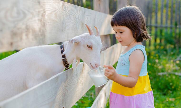 Κατσικίσιο γάλα: 5 λόγοι που είναι καλύτερο από το αγελαδινό (εικόνες)