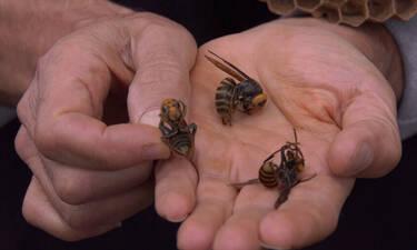 Tι συμβαίνει τελικά με τις ασιατικές σφήκες;
