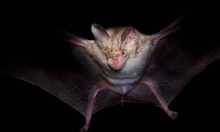 Κορονοϊός: 7 νέα είδη του ιού βρέθηκαν σε νυχτερίδες στην Αφρική