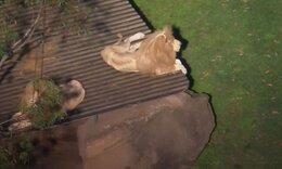 Μπήκε στο κλουβί δύο λιονταριών για να τα ταΐσει! Σήμερα δίνει μάχη για τη ζωή της... (vid)