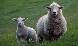 Νεαρός μολύνθηκε από πρόβατο - Δείτε πώς έγιναν τα χέρια του