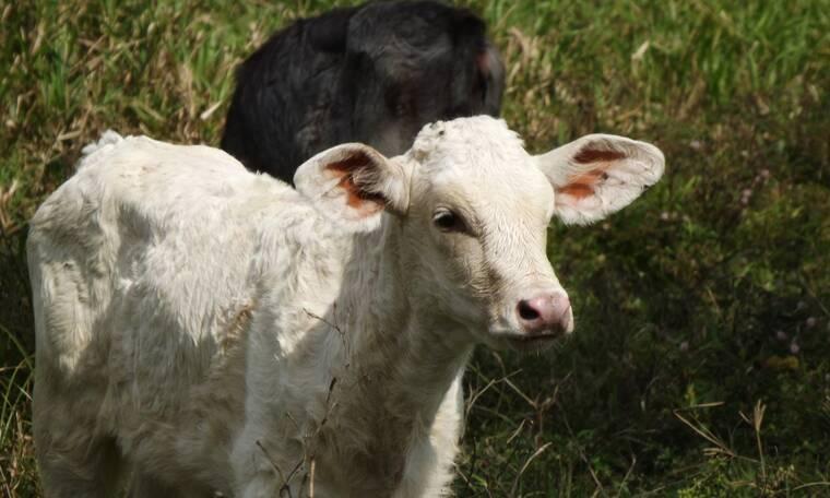 Φιλιππίνες: Γεννήθηκε αγελάδα «Κύκλωπας» χωρίς μύτη (video)