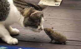 Μία ξεχωριστή φιλία: Γάτα κάθεται μαζί με ποντίκι (video)
