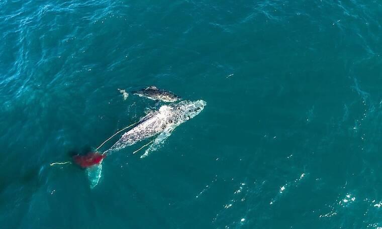 Λευκός καρχαρίας έπνιξε τεράστια φάλαινα σε τρομερή μάχη (video)