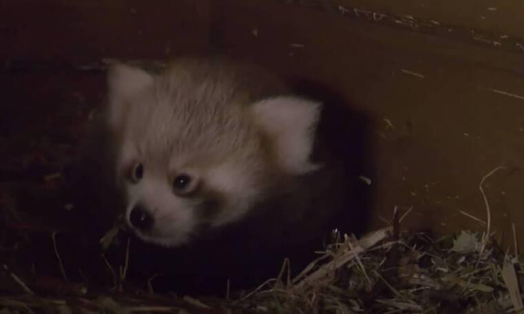 Βερολίνο: Γεννήθηκε κόκκινο panda (video)