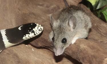 Ποντικός τα έβαλε με φίδι που είχε αρπάξει το μικρό του (video)
