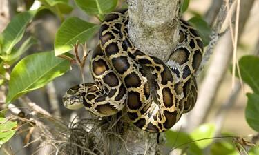 Είδε μεγάλο φίδι να σκαρφαλώνει δέντρο λόγω καταιγίδας (video)