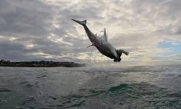 Μαγική εικόνα! Τεράστιος λευκός καρχαρίας πηδάει 4,5 μέτρα έξω από το νερό (video)