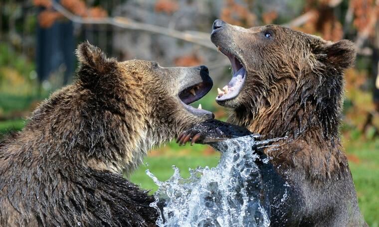 Αρκούδες λατρεύουν να παίζουν στην αυλή του (video)