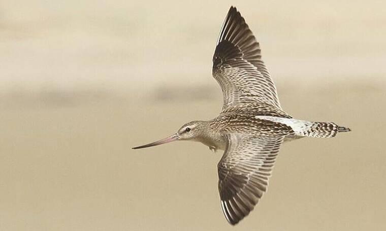 Αυτό είναι το πουλί που πέταξε από την Αλάσκα στη Νέα Ζηλανδία