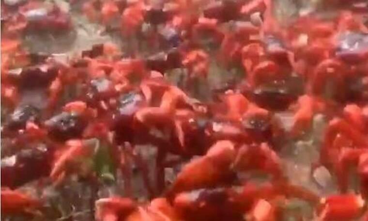 Εκατομμύρια κόκκινα καβούρια «έκλεισαν» τους δρόμους (video)