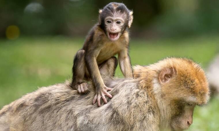 Ξέρεις γιατί λέμε «μαϊμού» τις φτηνές απομιμήσεις;