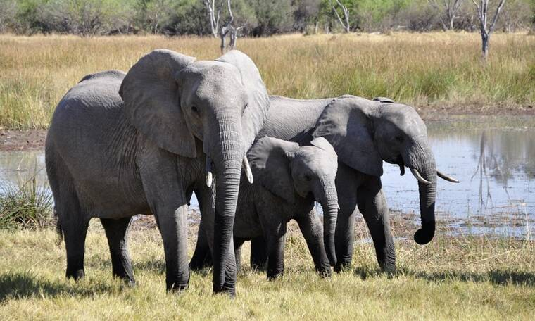 Αφρική: Ελέφαντες ποδοπάτησαν και σκότωσαν λαθροκυνηγό