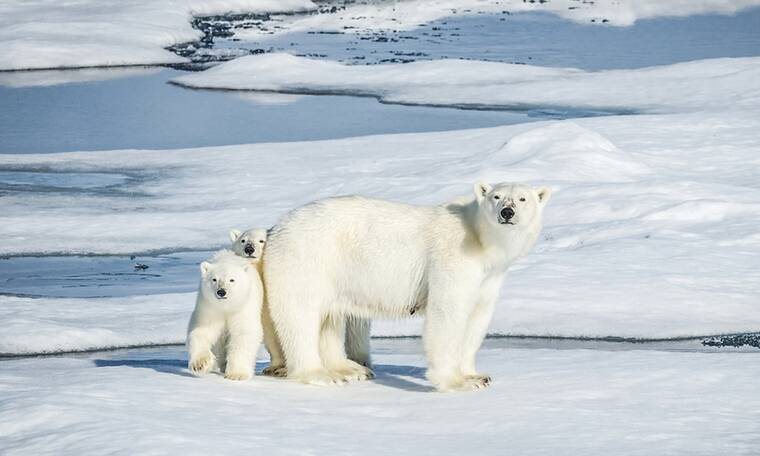 Πόσους μήνες μένει χωρίς φαγητό μια πολική αρκούδα όταν θηλάζει;